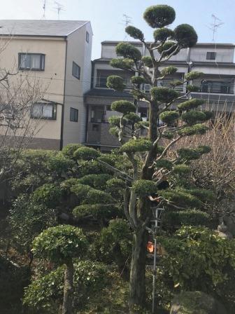 毎年恒例の剪定に大阪市東住吉区で行いました